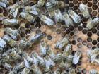 Bienen-7-Königin klein