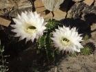 Kakteen der Gattung Echinopsis